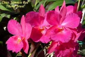 Jamaica Red \u0027Island Jewel\u0027